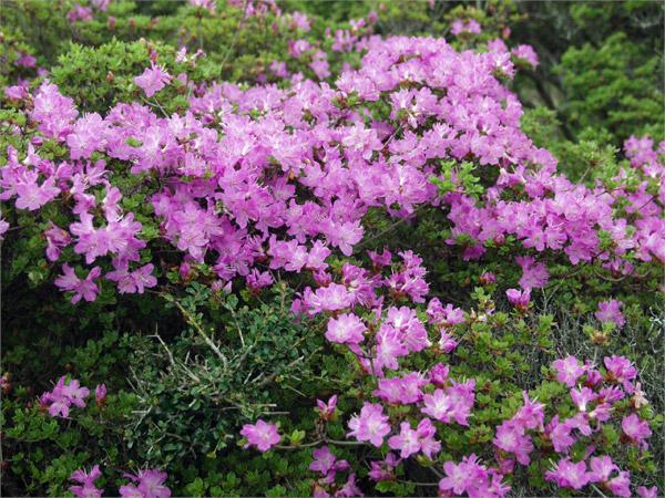 薄赤紫のミヤマキリシマ